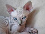 Кошки, котята Канадский сфинкс, цена 10000 Грн., Фото