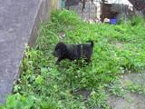 Собаки, щенки Шарпей, цена 1800 Грн., Фото