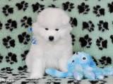 Собаки, щенята Самоїдом, ціна 7500 Грн., Фото