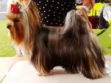 Собаки, щенки Услуги парикмахера, мойка, цена 120 Грн., Фото