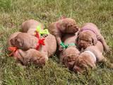 Собаки, щенки Венгерская выжла, Фото