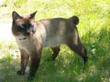 Кошки, котята Меконгский бобтейл, цена 800 Грн., Фото