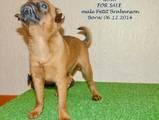 Собаки, щенки Брюссельский гриффон, цена 5000 Грн., Фото