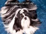 Собаки, щенки Ши-тцу, цена 8000 Грн., Фото
