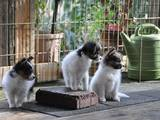 Собаки, щенки Папильон, цена 10500 Грн., Фото