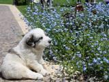 Собаки, щенята Піренейська гірська собака, ціна 12000 Грн., Фото
