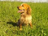 Собаки, щенки Русский спаниель, цена 5000 Грн., Фото