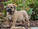 Собаки, щенята Мальоркскій бульдог (Ка Де Бо), ціна 25000 Грн., Фото