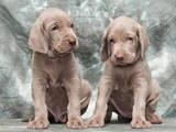 Собаки, щенки Веймарская легавая, цена 6000 Грн., Фото