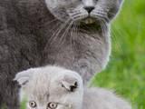 Кішки, кошенята Британська короткошерста, ціна 600 Грн., Фото
