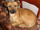 Собаки, щенята Карликовий пінчер, ціна 750 Грн., Фото
