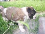 Собаки, щенята Московська сторожова, ціна 2900 Грн., Фото