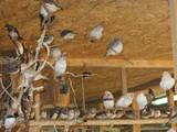 Попугаи и птицы Канарейки, цена 50 Грн., Фото