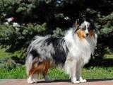 Собаки, щенята Шелті, ціна 4000 Грн., Фото