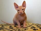 Кішки, кошенята Донський сфінкс, ціна 10 Грн., Фото