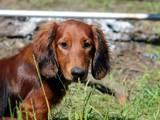 Собаки, щенки Длинношерстная такса, цена 2500 Грн., Фото