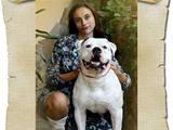 Собаки, щенки Американский бульдог, цена 10308 Грн., Фото
