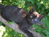Кішки, кошенята Шотландська висловуха, ціна 150 Грн., Фото