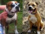 Собаки, щенки Американский стаффордширский терьер, цена 5000 Грн., Фото