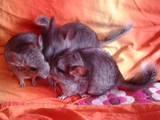 Грызуны Шиншиллы, цена 500 Грн., Фото