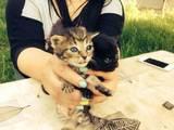 Кішки, кошенята Британська довгошерста, ціна 100 Грн., Фото