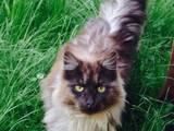 Кошки, котята Британская длинношёрстная, цена 100 Грн., Фото