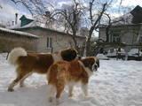 Собаки, щенята Сенбернар, ціна 3500 Грн., Фото