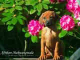Собаки, щенки Родезийский риджбек, цена 12000 Грн., Фото