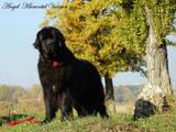 Собаки, щенята Ньюфаундленд, ціна 11000 Грн., Фото