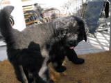 Собаки, щенки Ньюфаундленд, цена 4000 Грн., Фото