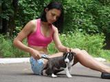 Собаки, щенята Бультер'єр, ціна 3999 Грн., Фото