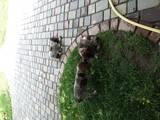 Собаки, щенки Немецкая гладкошерстная легавая, цена 500 Грн., Фото