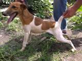 Собаки, щенята Гладкошерста фокстер'єр, ціна 3000 Грн., Фото