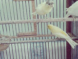 Папуги й птахи Канарки, ціна 150 Грн., Фото