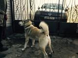 Собаки, щенята Східно-сибірська лайка, ціна 1500 Грн., Фото
