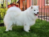 Собаки, щенки Самоед, цена 7770 Грн., Фото