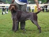 Собаки, щенки Немецкая жесткошерстная легавая, цена 6500 Грн., Фото