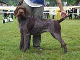 Собаки, щенята Німецька жорсткошерста лягава, ціна 6500 Грн., Фото