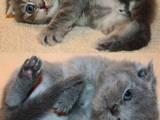 Кішки, кошенята Шотландська висловуха, ціна 1000 Грн., Фото