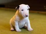 Собаки, щенята Бультер'єр, ціна 6000 Грн., Фото
