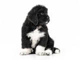Собаки, щенята Ньюфаундленд, ціна 25000 Грн., Фото