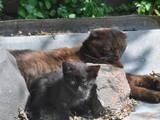 Кішки, кошенята Шотландська висловуха, ціна 100 Грн., Фото