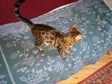 Кошки, котята Бенгальская, Фото