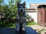 Собаки, щенки Аляскинский маламут, цена 8000 Грн., Фото