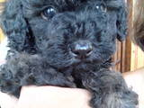 Собаки, щенки Той-пудель, цена 1500 Грн., Фото