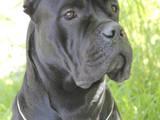 Собаки, щенята Кане Корсо, ціна 500 Грн., Фото