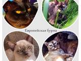 Кошки, котята Бурма, цена 6000 Грн., Фото
