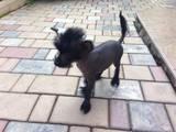 Собаки, щенки Китайская хохлатая собака, цена 6500 Грн., Фото