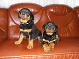 Собаки, щенки Ротвейлер, цена 5000 Грн., Фото