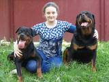 Собаки, щенята Ротвейлер, ціна 5000 Грн., Фото